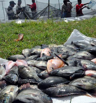 Nila Payau Hibrid untuk Hidupkan Tambak Idle