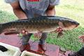 Budidaya Ikan Budaya