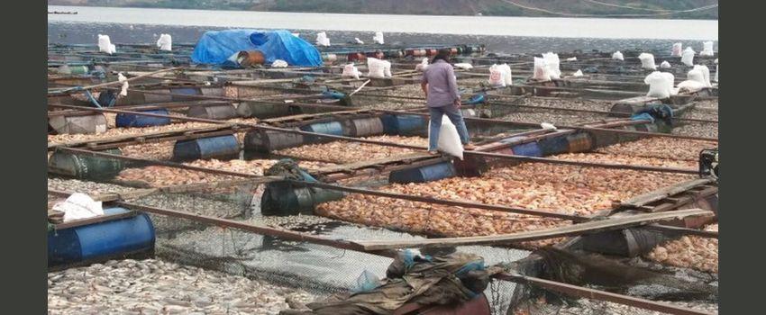 Panen Parsial dan Cara Berkelit dari Musim Kematian Massal Ikan