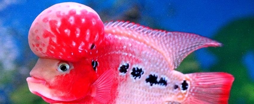 Bursa dan Kontes Ikan Louhan di Bogor