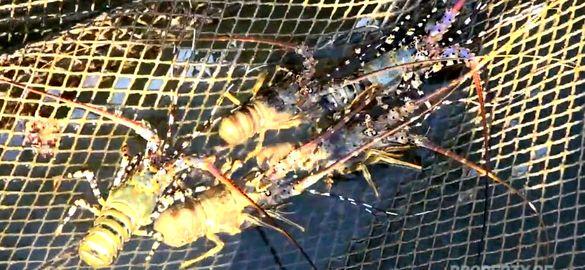 Belum Final, Opsi Ekspor Benih Lobster Masih Dikaji