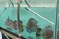 Sistem Plasma Ikan Hias