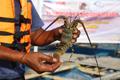 Strategi Mendorong Budidaya Lobster