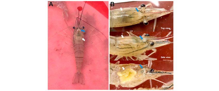 Decapod Iridescent Virus Serang Udang Asia, Jangan Sampai Masuk RI