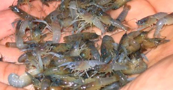 KIARA Desak Perbaikan Total Tata Kelola Lobster