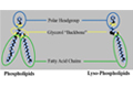 Optimalisasi Feed Cost Formulation dan Pemanfaatan Lemak/Energi Pakan dengan Lyso-phospholipid