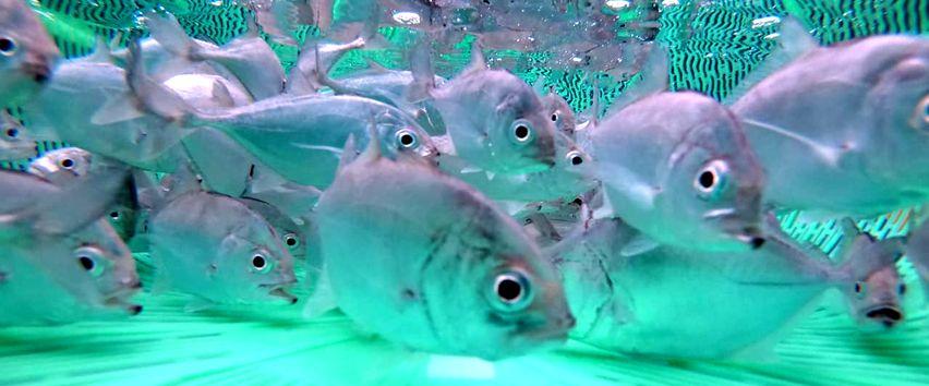 Budidaya Ikan Bubara, untuk Pasok Pasar Lokal dan Ekspor