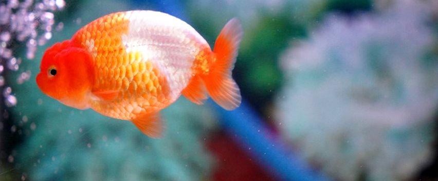 September Ceria, Bandung Kapalkan Ikan Hias Senilai Rp 9,2 M