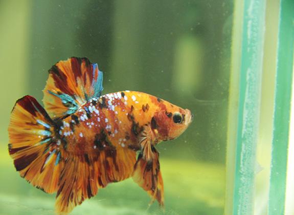 Cupang Nemo Yang Kian Dilirik Hobi Trobos Aqua Com