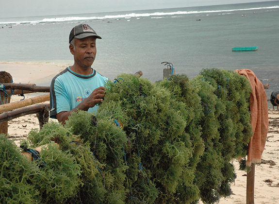 Syncronitation of Local Seaweed
