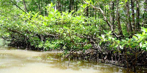 Semakin Mendesak, Perlindungan Terhadap Mangrove