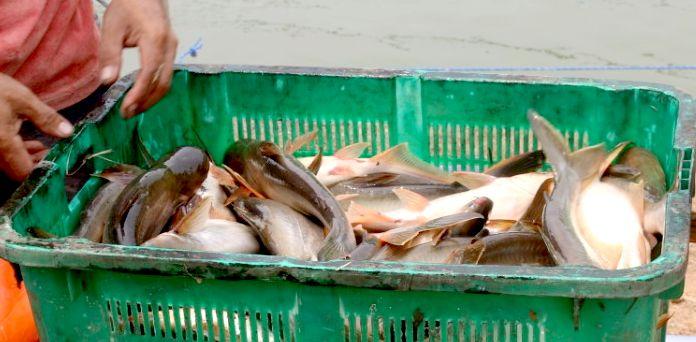 Merintis Pakan Ikan Mandiri Berbasis Bungkil Kelapa Sawit