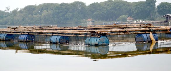 Kematian Ikan Massal Kembali Terjadi di Way Rarem