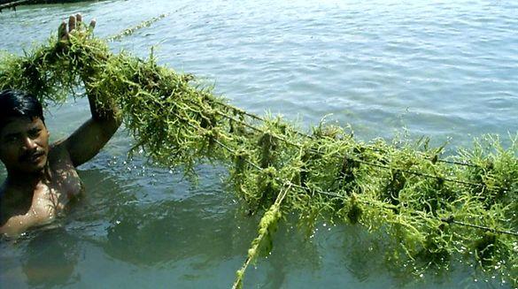 Dampak Wabah Corona, Ekspor Kepiting Anjlok, Rumput Laut Bertahan