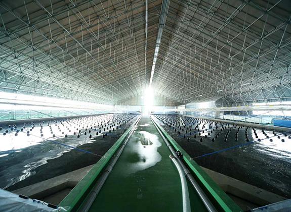 Jepang Mulai Kembangkan Budidaya Udang Indoor
