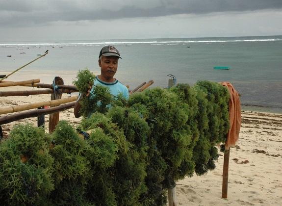 ARLI: Bali Bisa Bangkitkan Kembali Rumput Laut