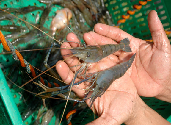 Trik Menekan Kanibalisme Udang Galah Akua Tekno Trobos Aqua Com