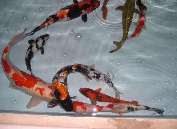 Menonjolkan Kualitas Warna Ikan Koi Konsultasi Trobos Aqua Com